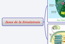 fases de la fotosìntesis